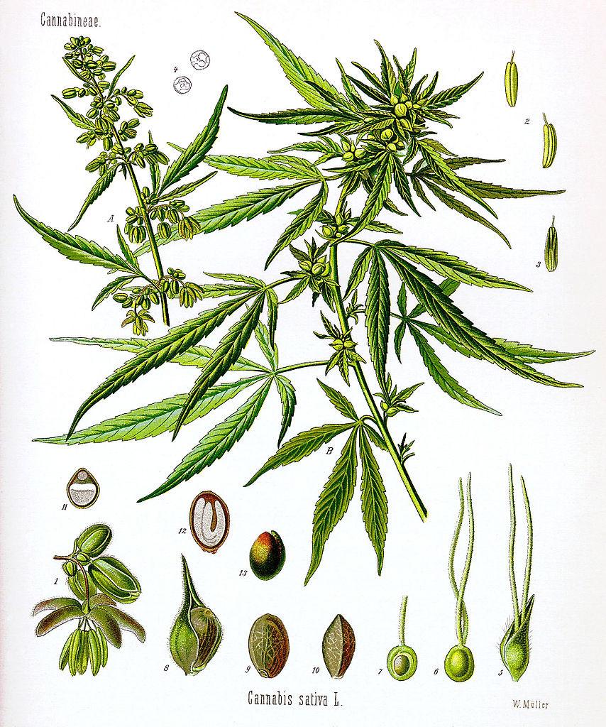 Cannabis_sativa_Koehler_