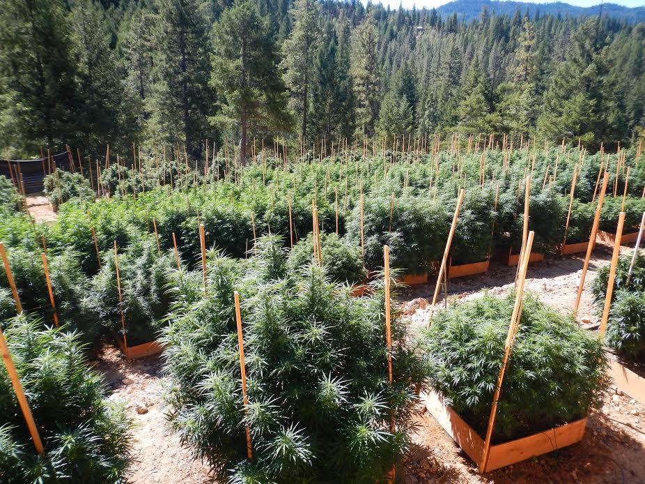 cannabis-incorrect-claims