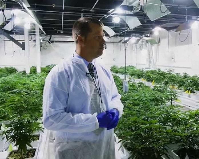 cannabis means