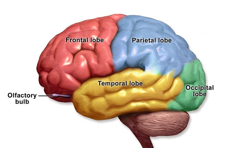 human brain - what are munchies